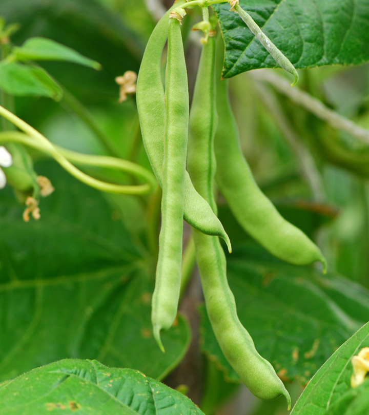 10 Amazing Benefits Of Green Beans