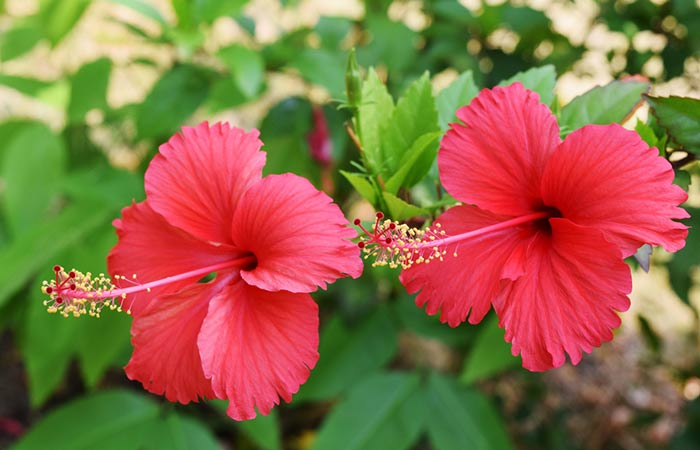 Hibiscus-And-Fenugreek-Hair-Pack