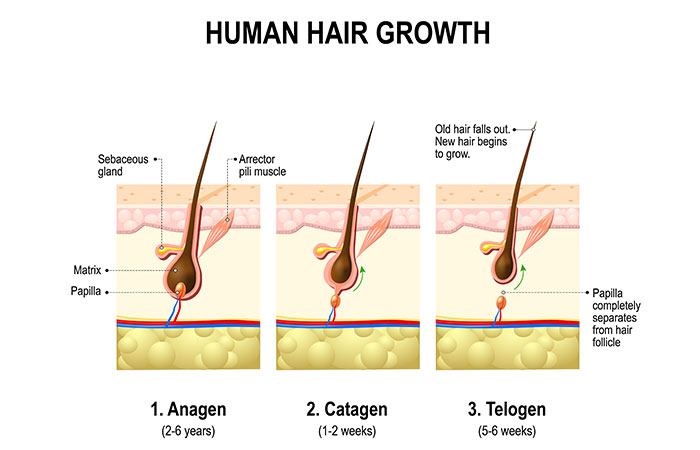 2.-Hair-Growth-–-The-Stages