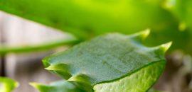 17 Amazing Benefits Of Aloe Vera (Ghritkumari) For Skin, Hair, And Health