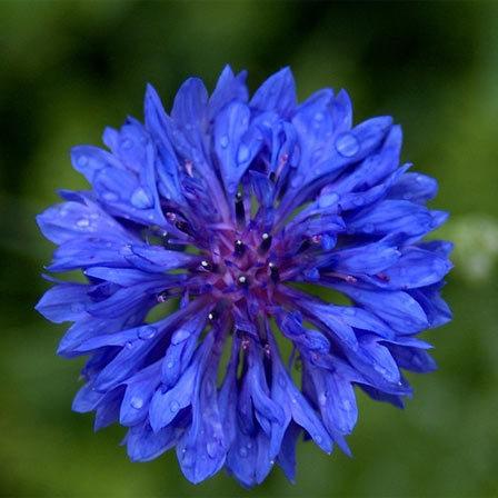 bachelor button flower