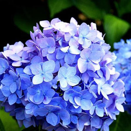 blue hydrangea is an absolute breathtaking flower some blue hydrangeas come in vivid and striking colours while some are in subtle shades like powder blue