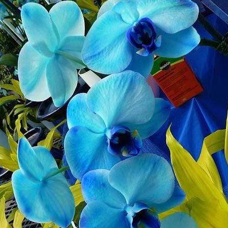 Blue orchids