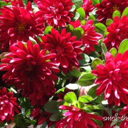 50 most beautiful flowers in the world besides being beautiful asters have a very special flower meaning they are fondly known as the symbol of patience and talisman of love mightylinksfo