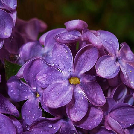50 most beautiful flowers in the world lilac flowers pinit mightylinksfo