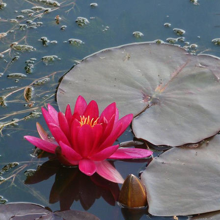 red dwarf water lily