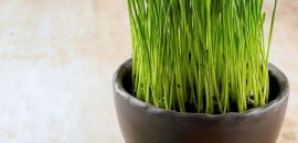 39 Best Benefits Of Wheatgrass Powder For Skin, Hair And Health
