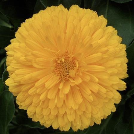 calendula officinalis bon bon yellow