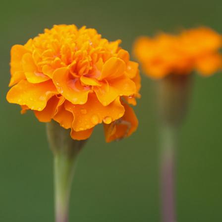 janie deep orange marigold