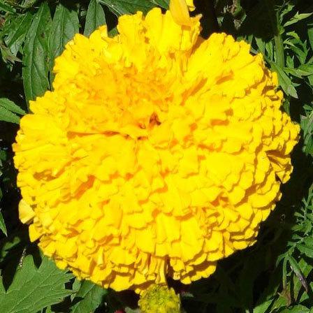 park's whopper yellow marigold