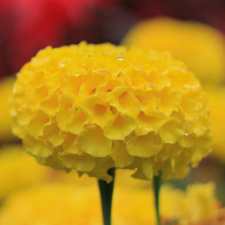 tagetes erect doubloon