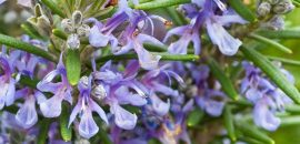 Top-25-Most-Beautiful-Rosemary-Flowers