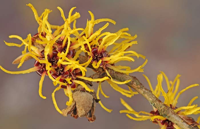 (b)-Witch-Hazel-For-Skin-Tightening