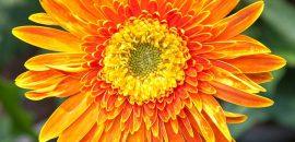 18 Amazing Benefits Of Calendula Herb For Skin, Hair And Health