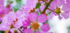 12-Amazing-Benefits-Of-Queen's-Flower-For-Your-Health