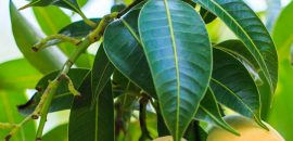 10-Amazing-Benefits-And-Uses-Of-Mango-Leaves-(Aam-Ke-Patte)_180370772