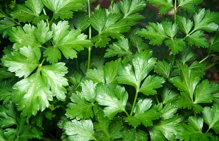 19. Parsley
