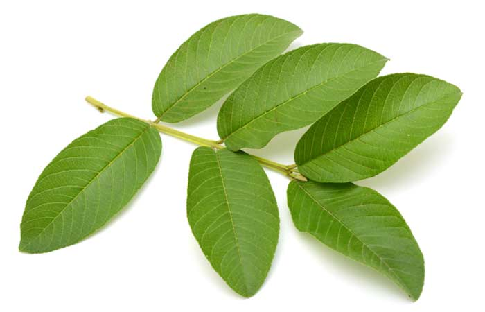 How-To-Use-Guava-Leaves-For-Hair